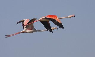 Flamingo / Greater flamingo
