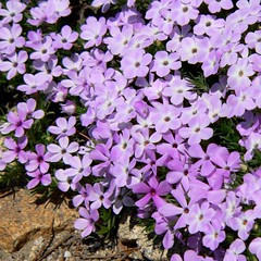 Spreading Phlox on Granite