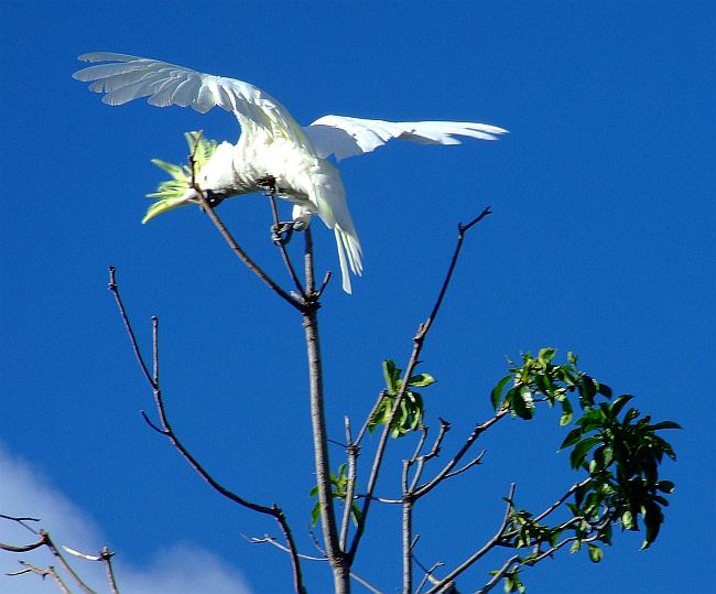 cockatoo in treetop