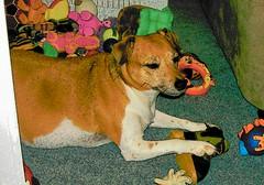 Gracie cartoon (Beyond.the.Box) Tags: dog pet baby love puppy toys gracie princess joy plushies softies browndog doggie jackrussellterrier dogtoys brownandwhitedog thinkoutsidethebox2008 squeekytoys