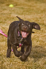 Forgetful Exuberance (Neon Ibis) Tags: winter dog puppy happy movement labrador play joy fast running run retriever chocolatelab mocha add labradorretriever fetch playful enjoyment forget distracted eager enthusiasm lackoffocus forgetful exhuberance attentiondeficitdisorder nikkor18200mmf3556gifed