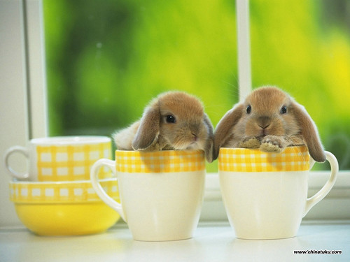 3 adorable three holand lop bunnies
