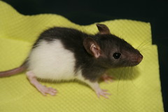 Smallest Black Hooded ever :P (Misja Klimov) Tags: pet cute rodent rat mascota rata petrat roedor fancyrat blac