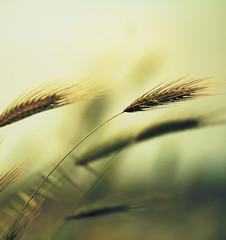 Il colore del grano (Emmanuele Contini) Tags: