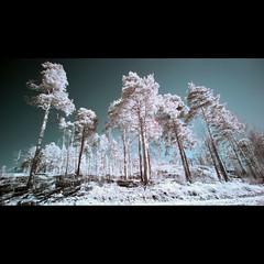Infrared trees (yofeeltheflow) Tags: ir helsinki infrared viikki 1022 400d
