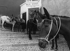 HAPPY HOURS (Giancarlo Mella (OFF)) Tags: italy photography photo donkey santorini digitalcamera animali mella asini giancarlomella