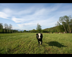 An Extroverse Cow (! .  Angela Lobefaro . !) Tags: camera trees sky italy woman mountains alps tree green nature girl berg field grass clouds montagne landscape xt kuh cow timelapse video interestingness mujer italia nuvole chica quality vert clip bleu explore piemonte ciel pasture cielo nubes bergen grn nuage nuages 2008 mucca biella fille eos350d piedmont braveheart vache vaca koe  candelo pastori pascolo  i500 cesvi xti  biellese eos400d  angiereal  toccataefuga  maxgreco angelalobefaro angelamlobefaro  wwwcesviorg angelamarialobefaro exstroverse landschasft