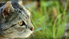 Katerchen (Ellie-Eve) Tags: furryfriends bigfave abigfave kissablekat bestofcats platinumphoto brillianteyejewel betterthangood goldstaraward boc0508