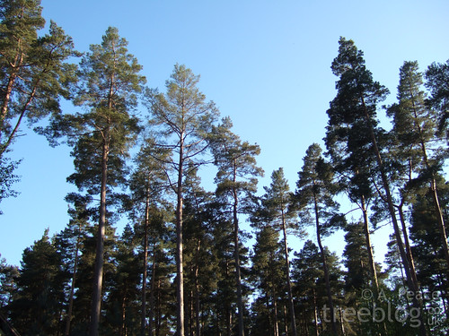tall pines against a blue sky
