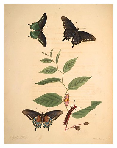 04-Illustration of Papilio Philenor. Aristolochia Serpentaria 3