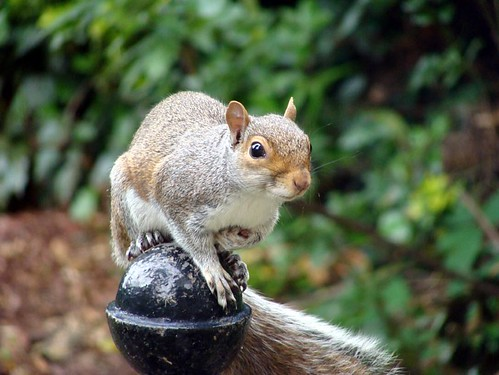 Photograph of a squirrel on a garden post by Kirsty Hall