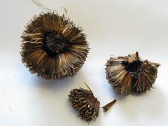 Split apart (wit) Tags: stilllife 3 macro tag3 taggedout tag2 tag1 deleteme10 tag seeds weeklysurvivor planetree
