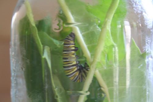monarch caterpillar...