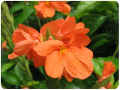Crossandra 'Tropic Flame' at a local nursery