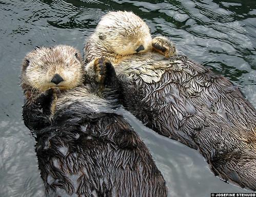 2764322597 44372088ca Saving Sea Otters