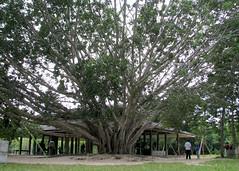 Suan Mokh banyan tree