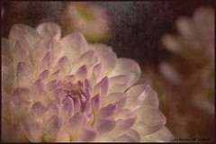Für Doris (Kirsten M Lentoft) Tags: dahlia flower textured firstquality seeyoutomorrow momse2600 textureby ash  goodnightsweetfriend mmmuahhh mmmmmuaahhhhhhhh hadanotsostressfulday hopeyourswasagoodone kirstenmlentoft