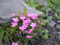 Flowers (kisssy) Tags: bulgaria rila