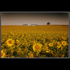 Invasin Amarilla...Final de la Triloga / Yellow Invasion ... End of the Trilogy (Novo59/Antonio Novo) Tags: espaa paisajes 20d canon canon20d andalucia cdiz girasoles antonionovo superaplus aplusphoto novo59
