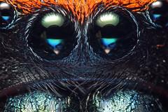 jumping spider close up (Mundo Poco) Tags: macro arachnid bellows jumpingspider salticidae kenkoextensiontubes reversemount phidippusapacheanus minolta28mm canoneos450d apachejumpingspider rebelxsi