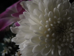 joyful outside, pain inside (Jus.) Tags: flowers sun photography blackwhite aperture focus clones zippers rosses happyflowers artofphotography