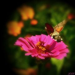 Hummingbird Hawk - Moth