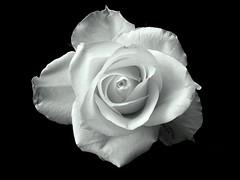 just a moment (inga m) Tags: bw flower rose ne taip ne4 ne5 ne2 ne3 taip2 taip5 taip7 taip10 taip1 taip4 taip6 taip8 taip9 fotofiltroauksas