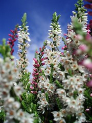 (anka.anka28) Tags: pink flowers blue sky white flower macro green heather wrzos platinumheartawards