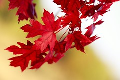 Red Leaves (Todd Klassy) Tags: travel autumn trees light red sky plant cold color art fall classic nature beautiful leaves horizontal wisconsin yard forest garden season landscape outdoors design leaf maple stem woods flora backyard day branch dof wind bokeh fallcolors fineart blowing autumncolors foliage vision change environment mapletree veins wi mothernature mapleleaves autumncolor artistry selectivefocus morphology endofsummer stockphotography vibrantcolor photosynthesis royaltyfree colorfulautumn colorimage botony fallseason ruralscene wisconsinautumn beautyinnature rightsmanaged nonurbanscene vibrantred fallinwisconsin wisconsinphotographer autumninwisconsin vibrantautumncolors toddklassy foliagereports wisconsinlandscapephotographer wisconsintravelphotographer
