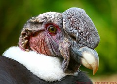 A real Condor moment... (law_keven) Tags: bird birds zoo feathers condor essex colchester avian andean colchesterzoo zoology feathery andeancondor vulturgryphus featheryfirday