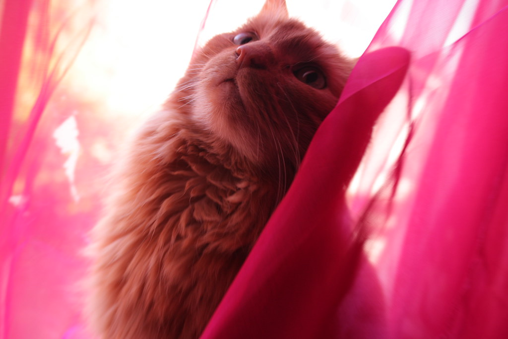 beautiful orange cat in pink