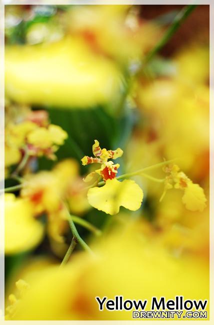 orkid1d