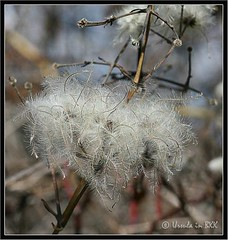Forest Fluff (Ursula in Aus (Away)) Tags: plants white france macro nature square clematis fluff languedoc oldmansbeard pyrnesorientales pyrennees macro60 sentiercathare colorfullaward passionateinspirations piexcellance famoussquarecaptures cathartrail catharepath