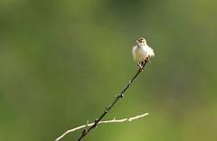 Siffling Cisticola - Murchison Falls NP Uganda 06_5525-200 (fveronesi1) Tags: birds uganda murchisonfalls fbwnewbird fbwadded sifflingcisticola cisticolabrachypterus