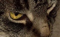 Loook Into My Eyes (ChicaD58) Tags: cat eyes feline tabby bonkers sisterscat onlythebestare