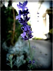 lomo lavender2