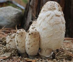 Shaggy Mane (Coprinus comatus) cluster (cocoi_m) Tags: california nature mushroom shaggymane trinitycounty coprinuscomatus trinitycenter macrophotograph themacrogroup