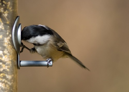 Chickadee balancing and eating