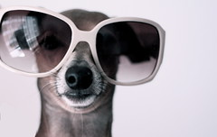 Beige is the new black! (Dada Mar) Tags: dog greyhound cute beautiful sunglasses fashion vintage instyle nose 50mm funny sweet stylish italiangreyhound ig envogue galgo dresseddog