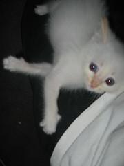 img_2468 (vitreoushumour) Tags: baby white cute cat kitten feline snowy blueeyes kitty fluffy kitteh awww housecat babykitty whitekitten felidae fluffykitten prisoner42837