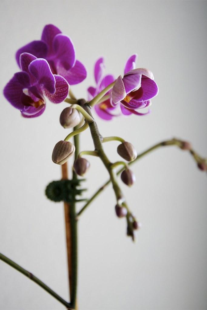 Ophelia Phalaenopsis.