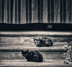 Gatekeepers (AIeksandra) Tags: cats cremona italy italia gatti rurale italiarurale streetshot street