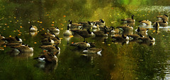 Respite (ozoni11) Tags: lake bird texture nature birds animal animals photoshop geese nikon flock lakes goose textures wetlands waterfowl ornithology canadagoose canadageese dreamcatcher wetland columbiamaryland d300 wildelake michaeloberman ozoni11