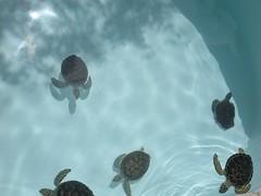 DSCN0747 (Susan M. Hill) Tags: turtles babyturtles excaret cancunmexico breedingpool