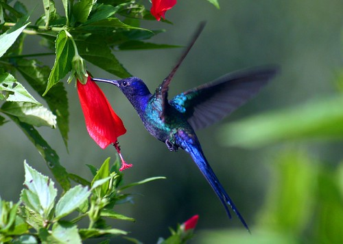 Beija-flor-tesoura, Swallow-tailed Hummingbird (Eupetomena macroura)