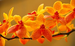 Orchid (mtkor1) Tags: orange orchid closeup walkinthepark millefiori flowerpictures masterphotos freephotos flowercolors flowershare excellentsflowers arealgem damniwishidtakenthat mtkor1