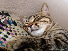 Kal-El dreaming (Kitty & Kal-El) Tags: pet animal cat video feline gato kalel catnipaddicts