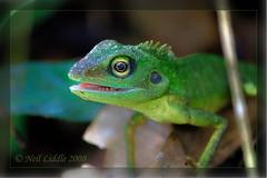 Green Bronchocela Cristatella Lizard.