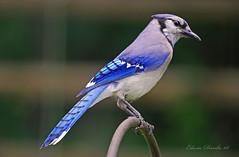 Blue Jay (Edwin Davila Photography) Tags: wild birds animals nc feathers