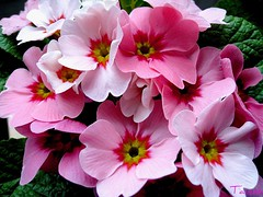 Pink Primrose Dreams (tainas) Tags: pink plant flower macro nature searchthebest primula soe primrose naturelovers bej fantasticflower abigfave impressedbeauty goldstaraward excellentsflowers theperfectphotoghapher mimamorflowers awesomeblossoms
